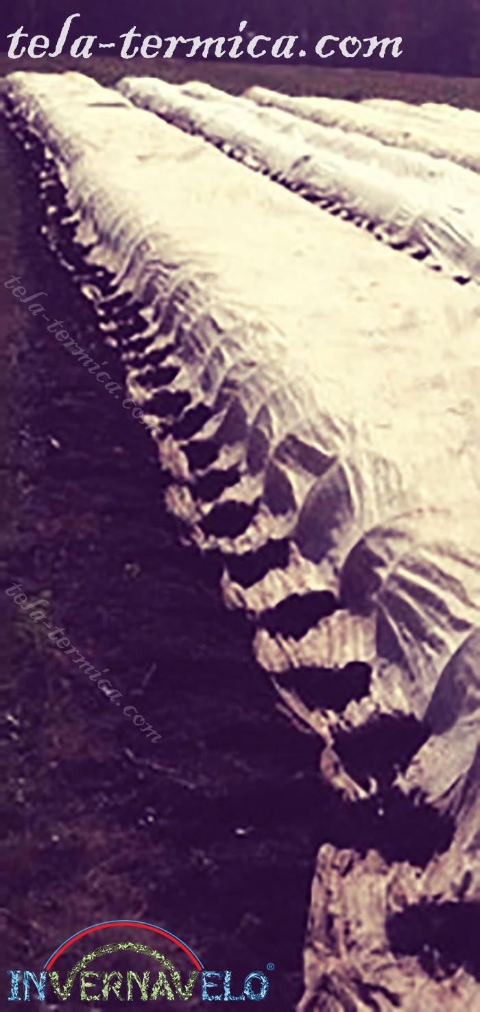 los micro túneles invernavelo instalados en campos de cultivos para protección contra heladas.
