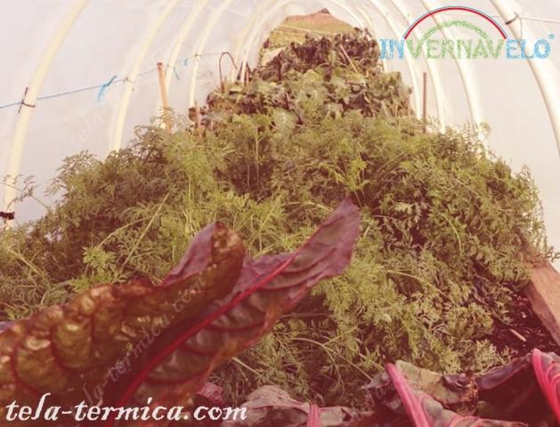 cultivos dentro del micro túnel invernavelo.